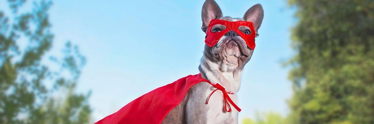Frensh bulldog dressed as a generic superhero