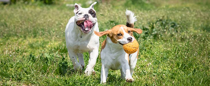 one dog chasing another dog through a grassy field with a ball in its mouth