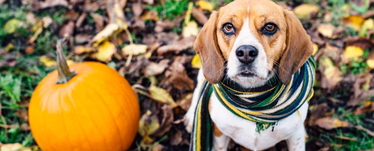 pumpkin-health-benefits-for-dog-hero